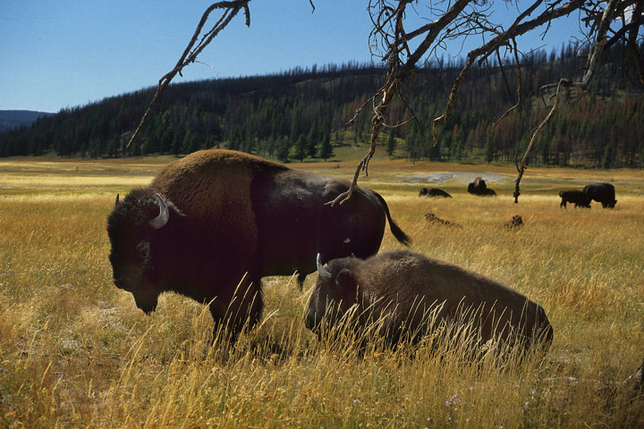 Bisons im Yellowstone N.P.