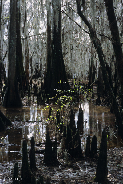 Caddo Lake / TX